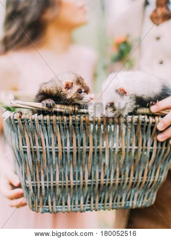 The close-up portrait of the lovely gray and brown ferrets in the woven box held by the hands of the blurred newlywed couple