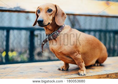 Dachshund Dog In Outdoor. Beautiful Dachshund Sitting In The Woo