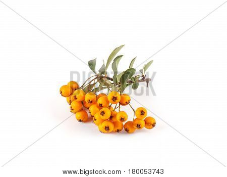 Pyracantha Isolated On White