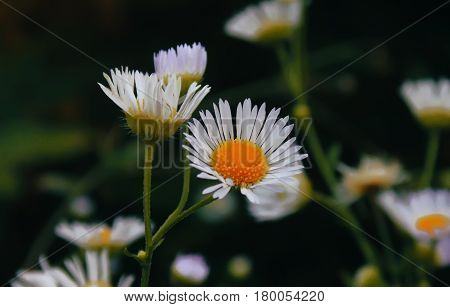 Flowering. Chamomile. Blooming chamomile field Chamomile flowers on a meadow in summer Selective focus.