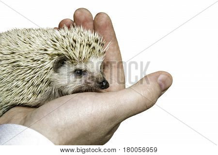 the image hedgehog in the palm isolated