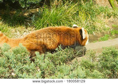 lesser panda in zoo outdoor landscape .