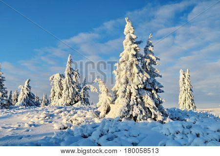Fir-tree and pines heavily covered with fresh snow on background blue sky. Miracle nature. Subpolar Urals, Russia