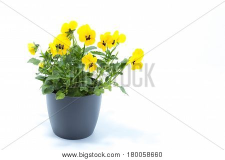 Horned Violet, Yellow Viola, Cornuta Planted In A Grey Pot And Isolated In White Studio Background