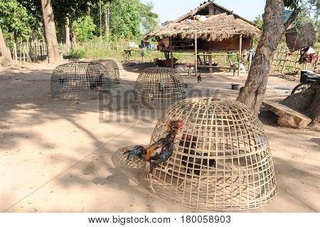 Cock farm at Don Det island on Laos