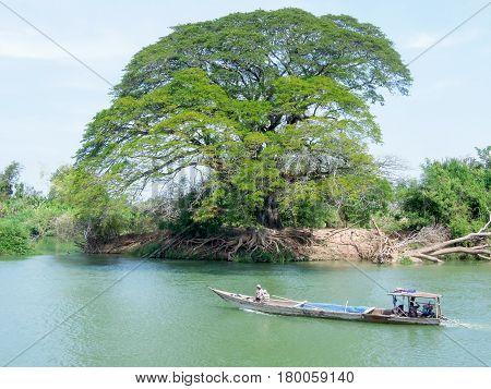 Big Tree On Mekong River At Don Det Island