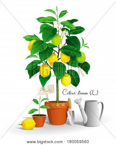 Cute Lemon tree with its Latin name lemon seedling in a pots and garden tools
