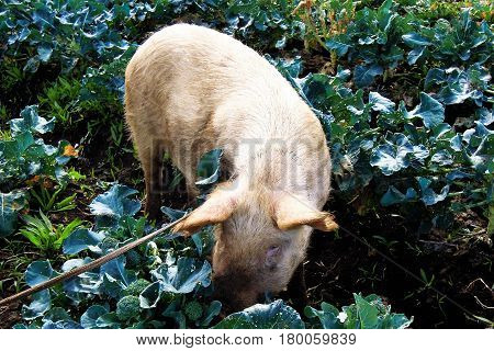 Close-up of a pig on a farm in Easter Island Rapa Nui Chile South America