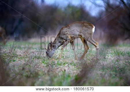 Young Roebuck In The Spring