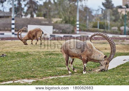 Ibex In Mitzpe Ramon, Israel