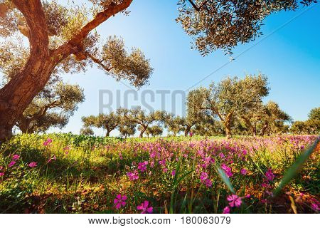 Splendid olive orchard in blossom. Picturesque day and gorgeous scene. Fairy forest in springtime. Location Sicilia island, Italy, Europe. Creative natural wallpaper. Explore the world's beauty.