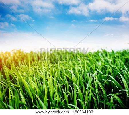 Bright lush grass in sunlight. Picturesque day and gorgeous scene. Location rural place of Ukraine, Europe. Wonderful image of wallpaper. Concept ecology protection. Explore the world's beauty.