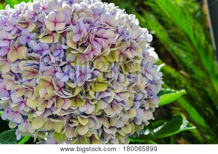 Close up of Hydrangea flower, also named common names hydrangea or hortensia, it is  flowering plants native to southern and eastern Asia or America. Saturated and vivid nature background for wallpaper or web design.