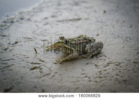 Small river frog sitting on the sand close-up