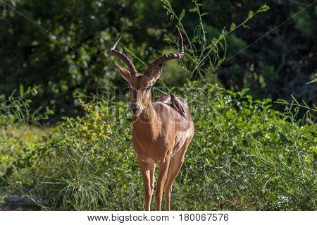 Impala (aepyceros Melampus) And Oxpecker (buphagus)