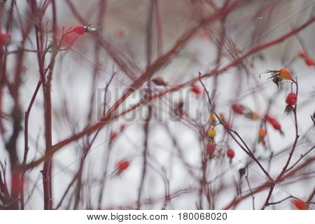 Rosehip bush in winter blurred for background