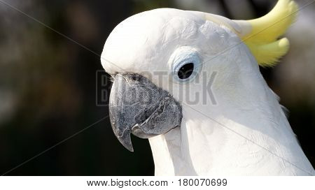 Portrait of a white parrot with a yellow tuft