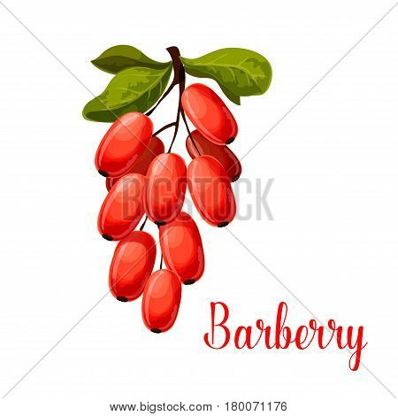 Barberry fruit branch isolated cartoon symbol. Fresh red berry of barberry with green leaves for natural healthy spice and condiments, vegetarian food, asian cuisine themes design