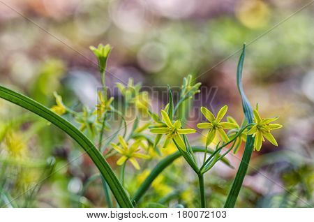 YELLOW STAR OF BETHLEHEM - Portrait of spring in the flower of the urban park