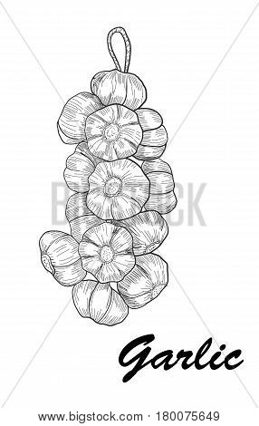Vector hand drawn garlic. Stylized black and white sketch of a bundle of garlic groves tied with ribbon
