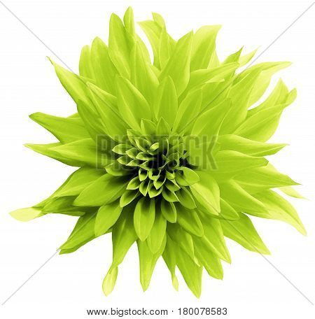 Green-yellow flower. isolated on the white background with clipping path. Close-up. Shaggy yellow flower dahlia. Nature.