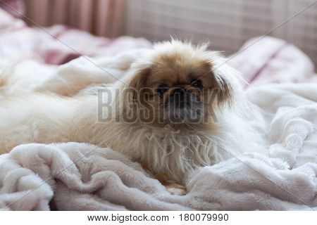 Dog breed Pekingese lies on a white blanket on a cloudy day