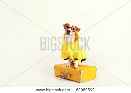 A fancy dog Jack-Rassel terrier is wearing yellow raincoat and glasses. It is sitting on a suitcase and staring at the camera. The picture is taken at studio and has white background. Travel, tourism concept