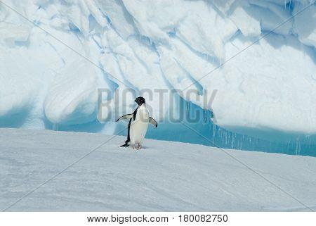 Adelie Penguin on the iceberg in Antarcdtica