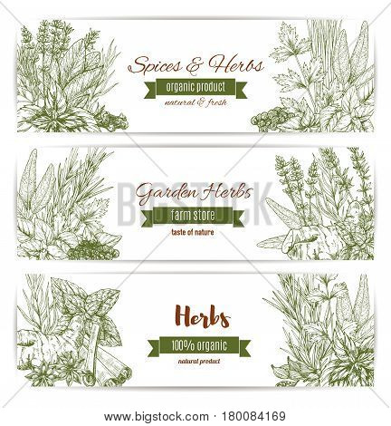 Herbs, spices and seasoning sketch banners. Pepper, rosemary and cinnamon, mint and basil, clove and parsley, anise, bay, thyme and cardamom, dill and ginger, oregano, sage and lemongrass, lavender