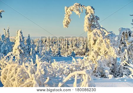 Fir-tree and pines heavily covered with fresh snow on background blue sky and mountains. Miracle nature. Subpolar Urals, Russia