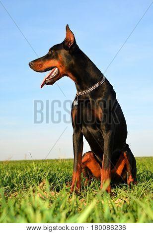 Brown doberman dog sitting in green grass.