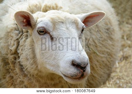 Portrait Of Domesticated Sheep On Pasture