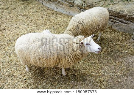 Domesticated Sheep On Pasture