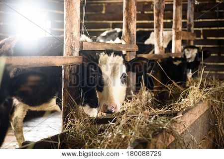 Calves in the stall eat hay. The sun shines through the window.
