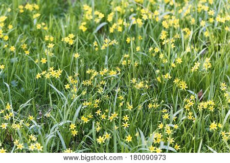 Flowers of Yellow Star of Bethlehem (Gagea lutea) plants in a meadow.