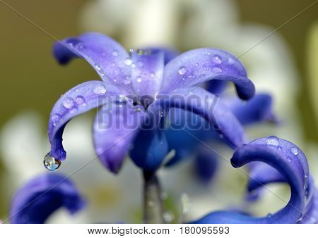 Dew drops on a spring flower Hyacinth close up.