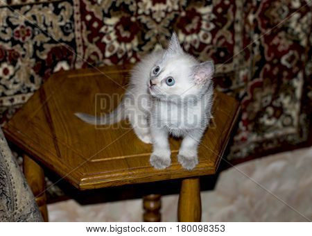 white kitten with blue eyes in the room a subject kittens