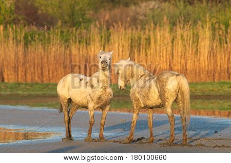 Camargue horses at the Isonzo river nature reserve