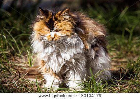Long hair cat in Beijing China Asien