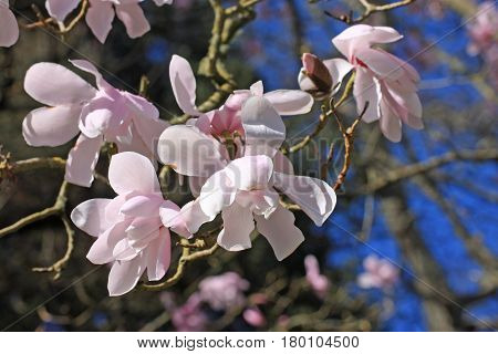 Flowers on a magnolia tree in the spring