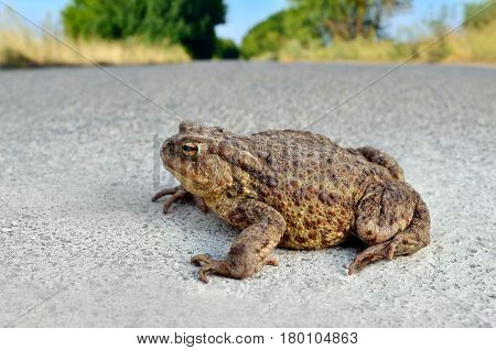 Large Earth Toad Sits On A Concrete Road