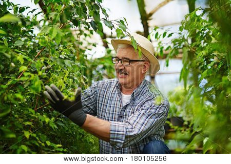 Portrait of smiling senior gardener enjoying working with plants in glasshouse, checking green leaves gently and tending to them