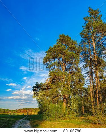 Tall old trees i mixed deciduous-coniferous forest with birch pine blooming lilacs in the foreground, Irpen, Ukraine. The edge of the spring forest in the evening sun. Young couple admiring nature poster