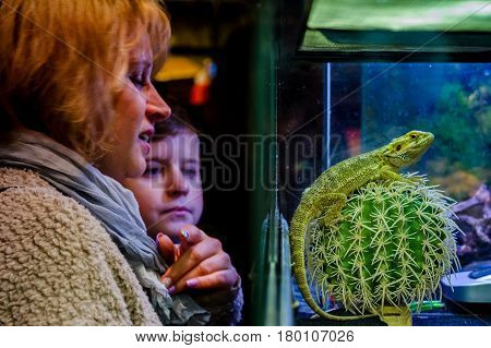 Uzhhorod Ukraine - March 26 2017: Visitors are considering bearded agama during an exhibition of terrarium animals.