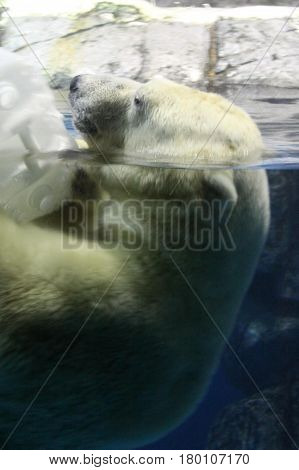 Polar bear sticking his head out of the water.
