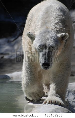 A white polar bear lumbering along at a strut.