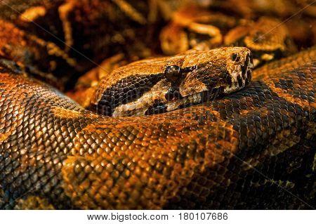 Uzhhorod Ukraine - March 26 2017: Python snake in terrarium during an exhibition of terrarium animals.