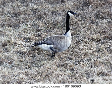 A lone goose walking along the ditch enjoying the early spring day.