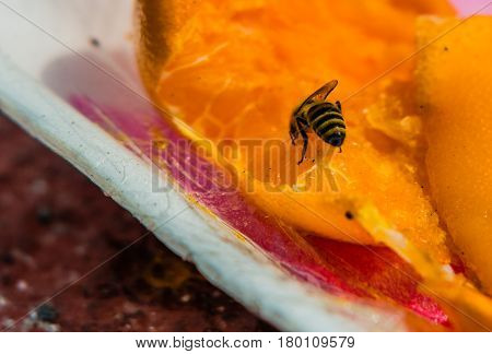Bubble bee extracting nectar from a discarded orange in a styrofoam container