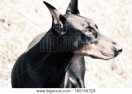 A portrait of The Black Doberman Pinscher dog In a mountain.
